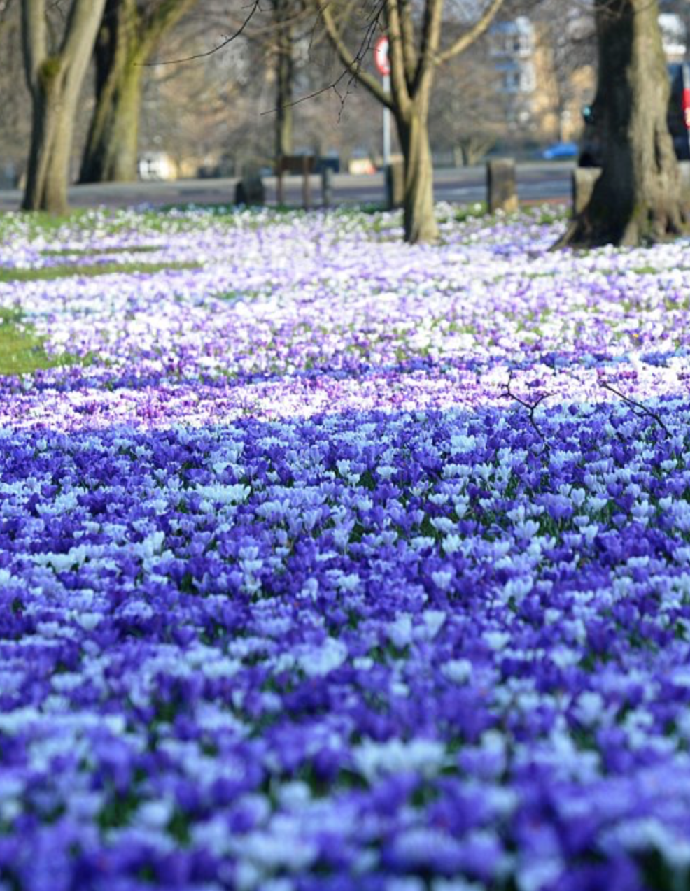 A sea of crocuses on the Stray
